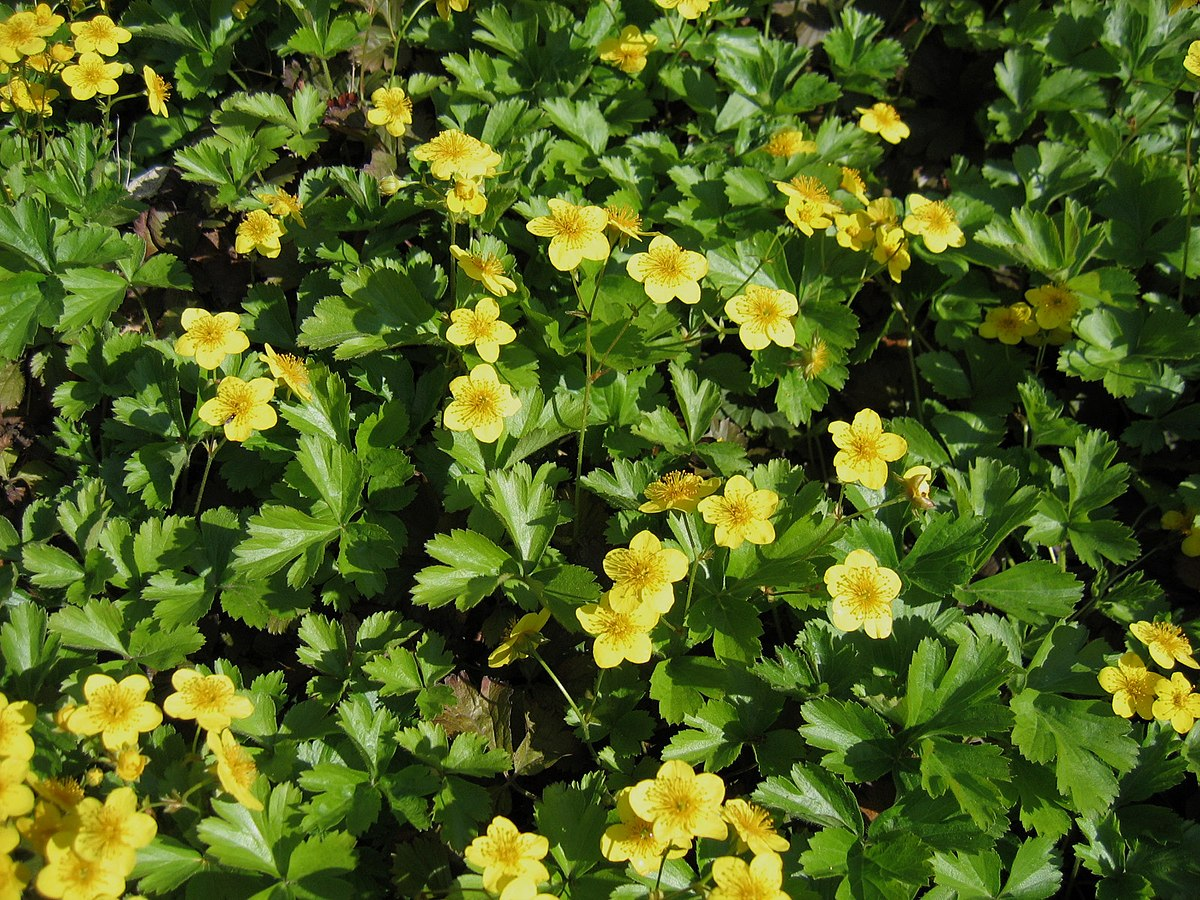 Waldsteinia - Wikispecies