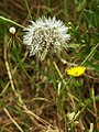 Wall hawkweed flower and fruit.jpg