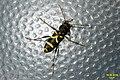 Wasp beetle (NH266) (29539502103).jpg