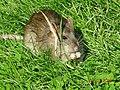 Water rat (16018448831).jpg