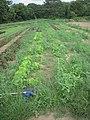 Weeding Lettuce (4858250787).jpg