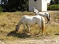 Weiße Pferde, Sithonia.jpg