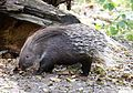 Weissschwanzstachelschwein Hystrix indica Tierpark Hellabrunn-5.jpg