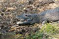 West African Dwarf Crocodile 5.jpg