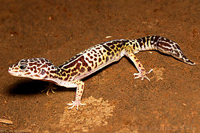 Description de l'image West Indian leopard gecko Eublepharis fuscus by Krishna Khan Amravati.jpg.