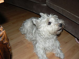 a west highland white terrier