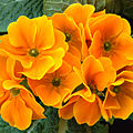 Whazzit Primula aka.jpg