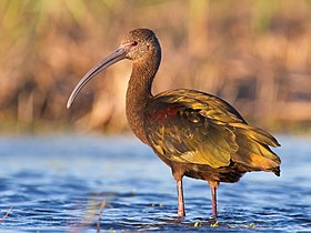 White-faced Ibis by Dan Pancamo.jpg