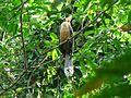 White-throated Brown Hornbill IMG 9509 08.jpg