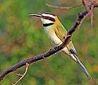 White-throated bee-eater (Merops albicollis) female.jpg