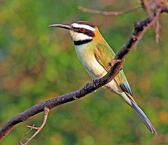 White-throated bee-eater - female, Uganda