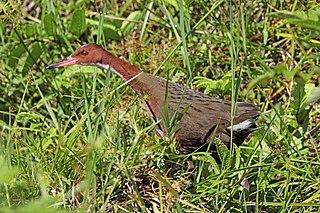 White-throated rail Species of bird