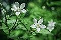 White Angel Flower (Idda Flower).jpg