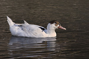 Français : Canard Blanc. English: White Duck