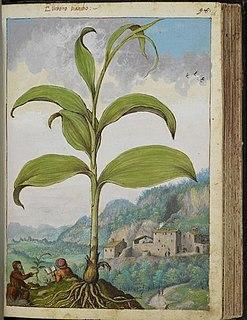 Italian botanist and painter
