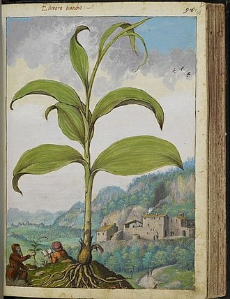Gherardo Cibo - A plate of by Cibo, showing herbalists in the field and Polygonatum in the foreground