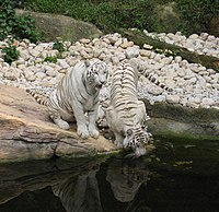 White tigers drinking