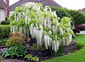 White wisteria, Auburn WA.jpg