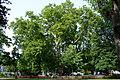 Wiener Naturdenkmal 564 - Platane (Innere Stadt) a.JPG