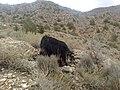 Wild Goat - panoramio.jpg