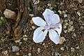 Wild Iris (Dietes iridioides) (17261001909).jpg