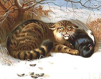 Wildcat - Image: Wildcat Thorburn 1902