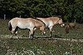 Wildpferde Equus przewalskii 03.JPG