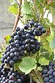 Wine (12767183334).jpg