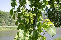 Wine grapes Mosel 2018 (2).jpg