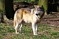 Wolf - Whipsnade Zoo - March 2011 (5543990547).jpg