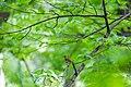 Wood thrush (26463367940).jpg