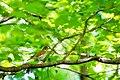 Wood thrush (33530542364).jpg
