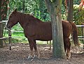 Worms Kaltblut Pfalz Ardenner Tiergarten Worms 2011.JPG