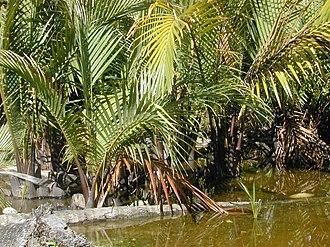 Sundarbans - Golpata (Nypa fruticans)