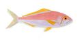 XRF-Aphareus furca.png