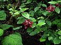 X Sinocalycalycanthus Hartlage Wine - Flickr - peganum (1).jpg