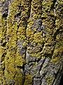 Xanthoria parietina 99631513.jpg