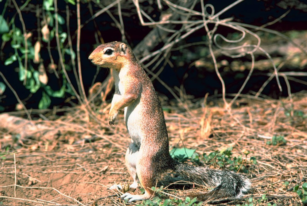 The average litter size of a Unstriped ground squirrel is 1