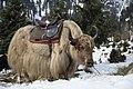 Yaks on Manali, Himachal Pradesh.jpg