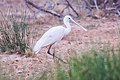 Yellow-billed Spoonbill (Platalea flavipes) (8079576580).jpg