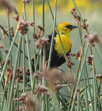 New World blackbird - Yellow-headed blackbird