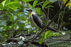 Yellow-headed Picathartes - Ghana 14 S4E2922 (16202947572).jpg