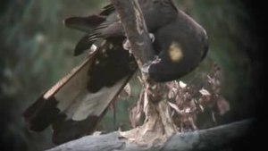 File:Yellow-tailed Black-Cockatoo kobble08.ogv