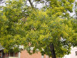 Acacia Dealbata Wikipédia A Enciclopédia Livre
