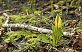 Yellow Skunk Cabbage, Lysichiton americanus (8683781490).jpg