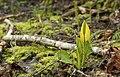 Yellow Skunk Cabbage, Lysichiton americanus (8683781490).jpg
