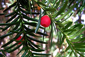 Taxaceae - Foliage and mature arils of a yew plant