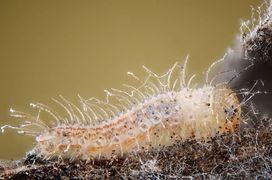 Young Pyronia tythonus caterpillar.jpg