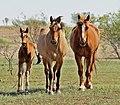 Young foal-dun mare- sorrel gelding IMG 5592.jpg