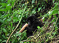 Young mountain gorilla (8210091620).jpg